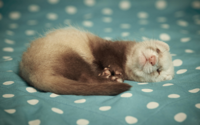 image for Ferrets and Rats!